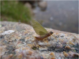 Yellow mayfly (Heptagenia Sulphurea)