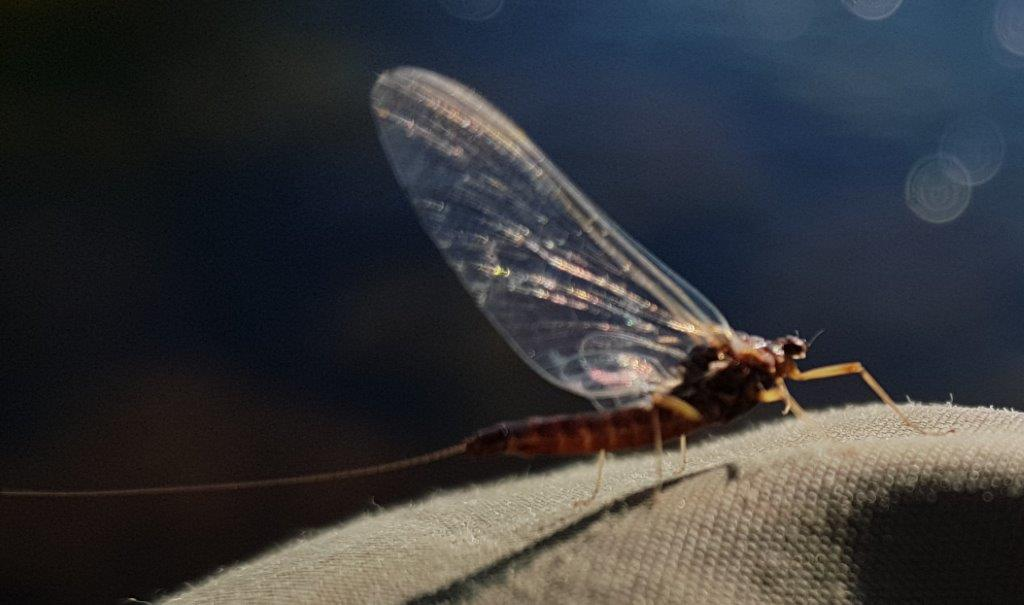 Photo 30 Mayfly