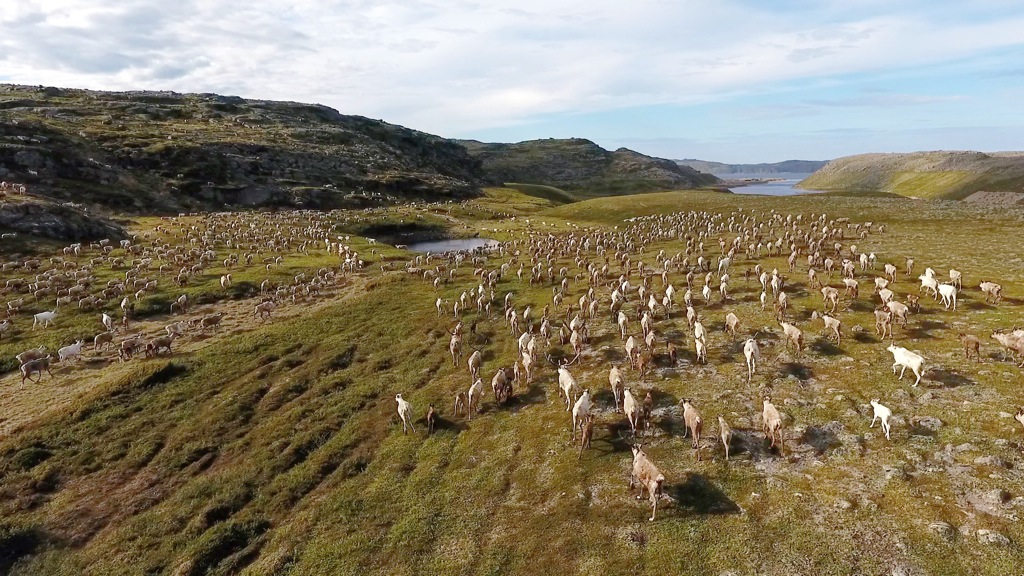 13 Reindeer on the tundra